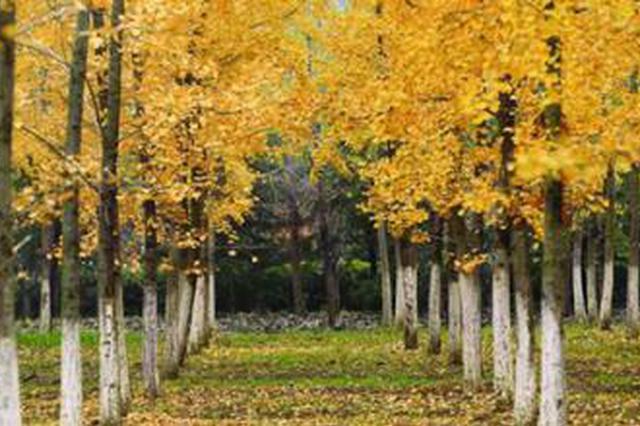 即日起 合肥市民可前往各公园赏秋冬落叶