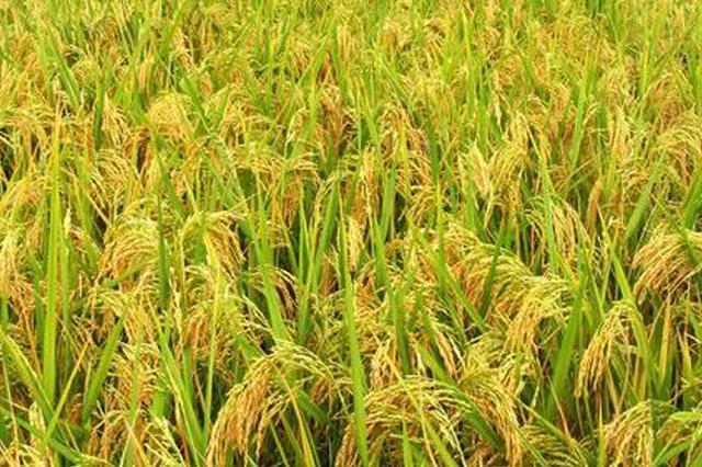 2018合肥粳稻亩均净利润95.94元 同比上年减少6.06元