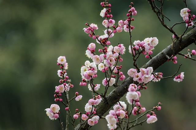 合肥植物园梅花竞相绽放 争奇斗艳