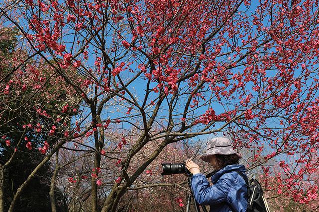 三月梅海美如画 在合肥植物园感受春天气息