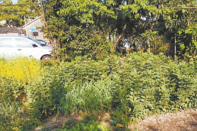 """芜湖一人行道旁绿化带被""""盯上了"""""""