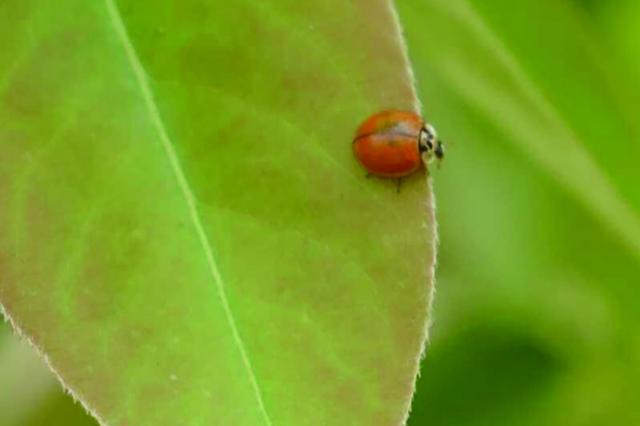 除虫不打药 肥东一生态园投放200万只瓢虫对付蚜虫