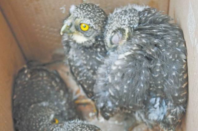 树洞里发现五只出生不久的猫头鹰