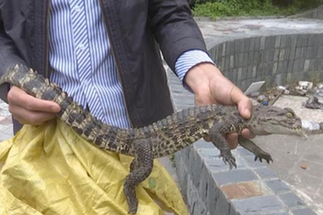 当涂县城区河内惊现鳄鱼 已被林业部门成功捕获