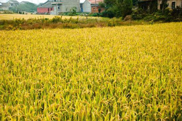 安庆今年早稻播栽面积13.6万亩