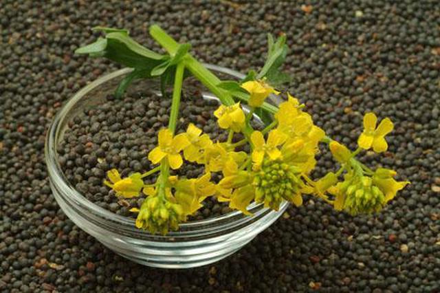 安庆今年夏收油菜籽面积147万亩 亩产增长约7%