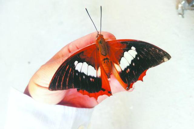 合肥街头闪现罕见白带螯蛱蝶