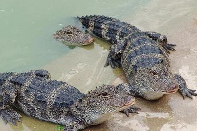 安徽:120条人工繁育扬子鳄放归野外