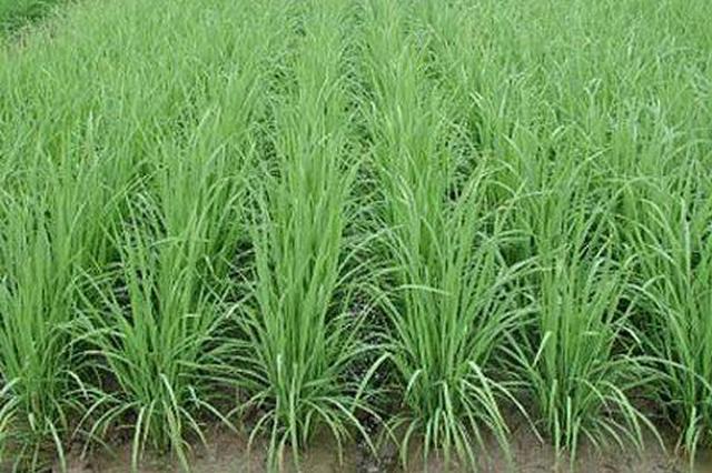 全省一季稻苗情长势正常 种植面积增加品种进一步优化