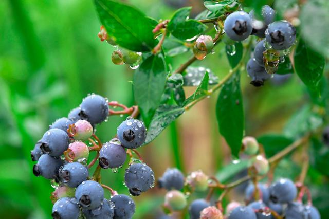 合肥庐江县矾山镇:蓝莓基地带动村民脱贫致富