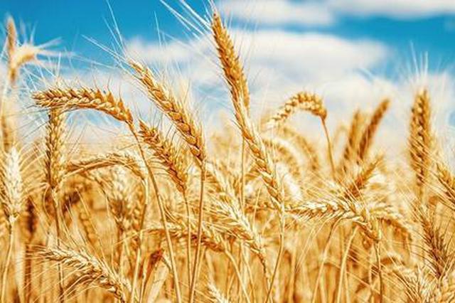 安徽小麦收购市场价稳中略升