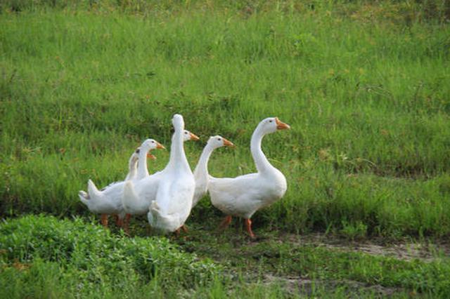 多地盗窃家禽家畜作案50余起 淮北警方联手破案