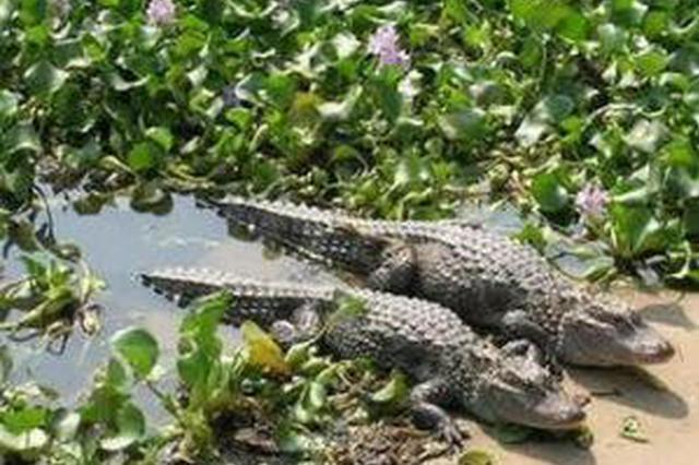 安徽5条人工繁育扬子鳄出口日本