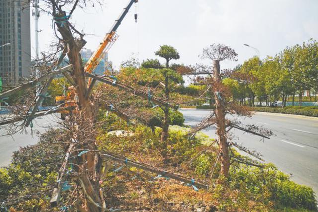 芜湖长江路上 多棵罗汉松枯死
