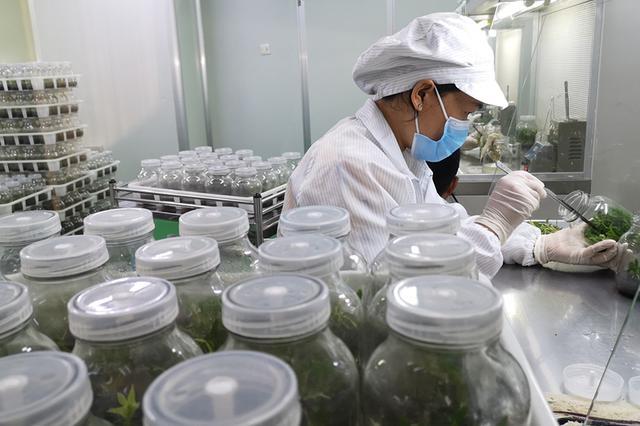 安徽马鞍山:小石斛带动大产业