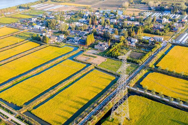 安徽肥东:金色田园丰收美