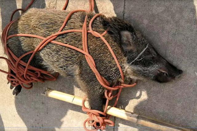 滁州一头野猪撒欢快车道 致多起交通事故