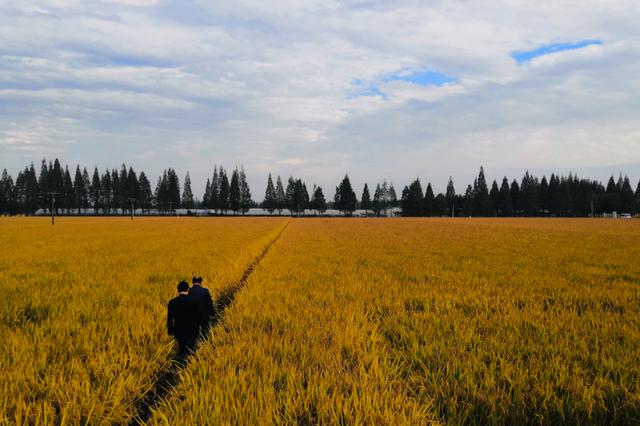 1053.7公斤 安徽农业大学创安徽水稻单产新纪录