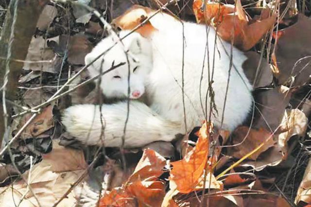 合肥一校园出现北极狐 专家提醒野外发现最好不要打扰