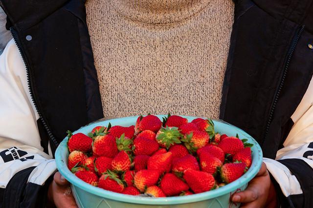 """安徽五河:小草莓成农民冬季增收""""甜心果"""""""