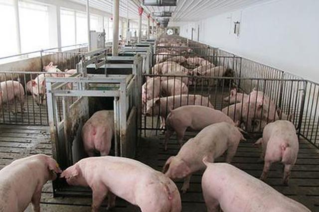 """农业农村部:推动""""大场帮小户""""加快恢复生猪生产"""