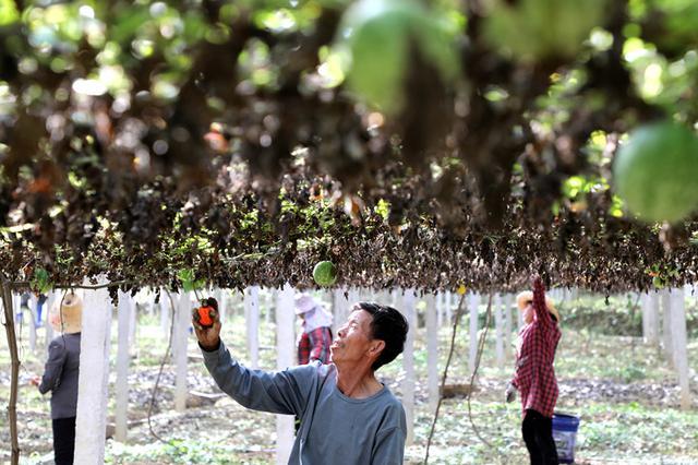 六安市叶集区:吊瓜园里携手奔小康