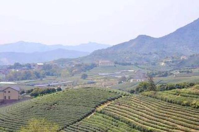 疫情之下春茶生产怎么办 安徽发文鼓励包片分散采摘