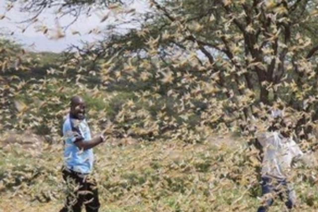 严重蝗灾威胁非洲之角粮食安全
