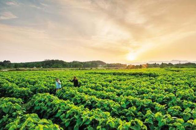 安徽肥西:5万亩桑园助力产业扶贫