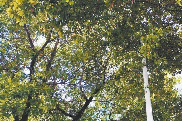 公安街上大树遮挡路灯