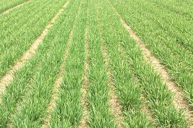安徽冬小麦长势明显好于上年