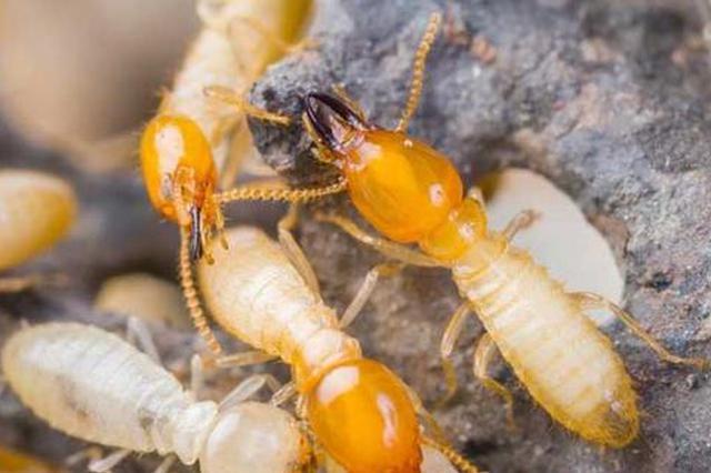 白蚁繁殖分飞期 市民需警惕