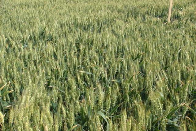 安徽小麦田管进度快于去年