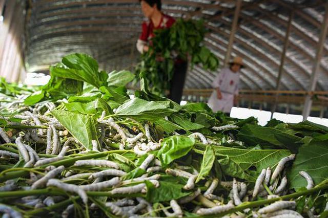 安徽肥西:小蚕桑织就脱贫致富路