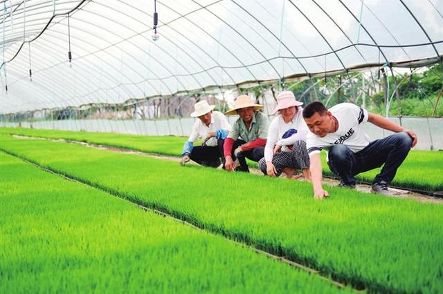 安徽芜湖:壮秧保丰收