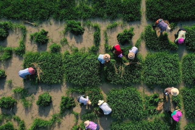 秧苗精细化插播 保证丰收精准测产