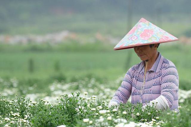 安徽黄山:梅雨初放晴 菊农采摘忙