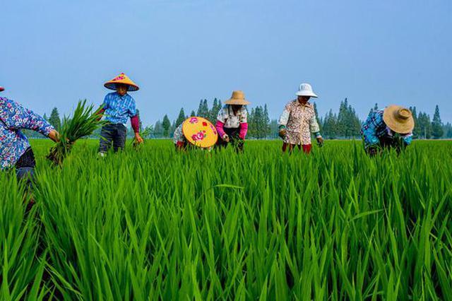 安徽庐江:水稻绿色种植节本增效