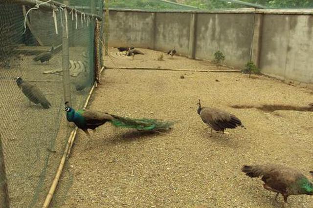 安徽未发现人工养殖孔雀被不当处理的情况