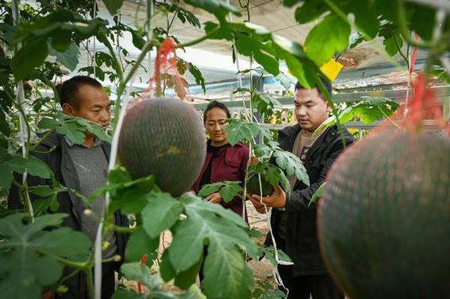 """安徽援藏让高原""""菜园""""四季飘香 打造产业脱贫样板"""
