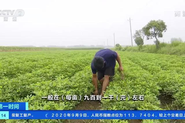 安徽蚌埠:花生价格微涨 种植户每亩地能挣八百元