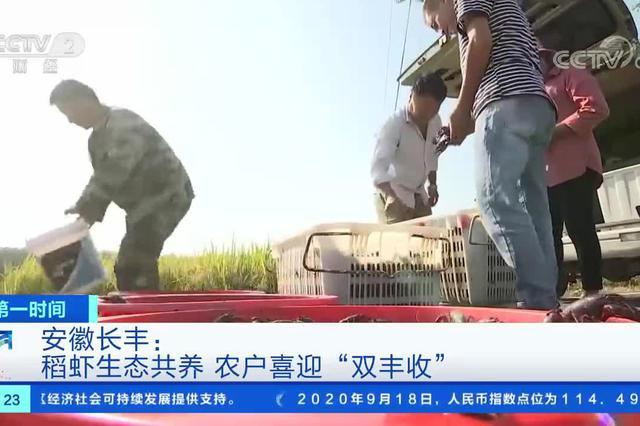 """安徽长丰:稻虾生态共养 农户喜迎""""双丰收"""""""