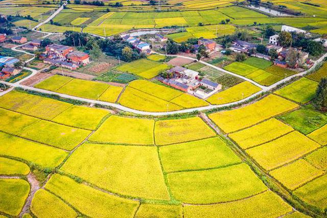 安徽肥东 :金色田园 丰收在望