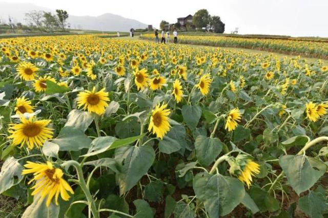 安徽巢湖:百万株向日葵花开成海