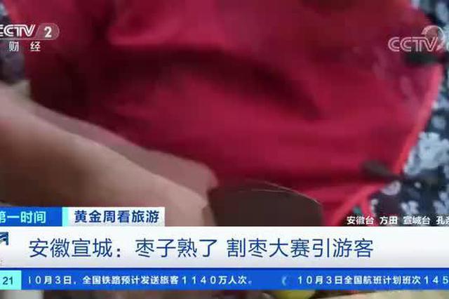 安徽宣城:枣子熟了 割枣大赛引游客