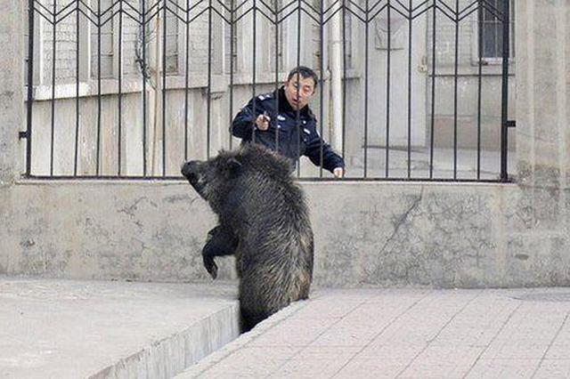 """野猪""""组团""""闯进居民区 特警出动击毙4头野猪!"""