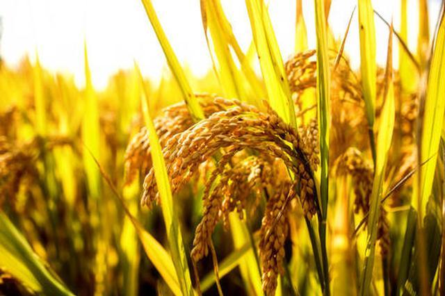 安徽中晚稻市场收购价格略高于去年同期