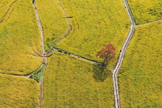 安徽加快推进秋种结构调整 主攻发展优质专用粮食生产
