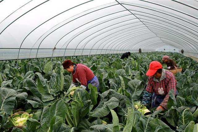 采收有机花菜 准备供应市场