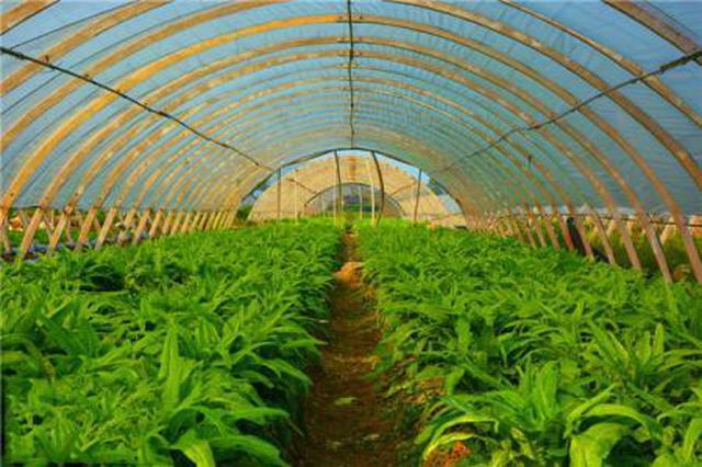 望江:发展蔬菜产业 助力脱贫攻坚